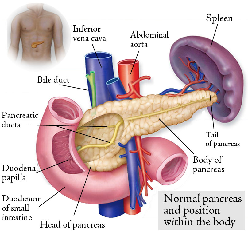Pancreas And Spleen Location
